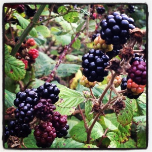 blackberries on Allington Hill, Bridport, Dorset. Photo by Totallydorset