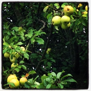 green apples on Allington Hill in Bridport, Dorset. Photo by Totallydorset