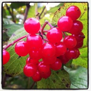red berries on Allington Hill in Bridport, Dorset